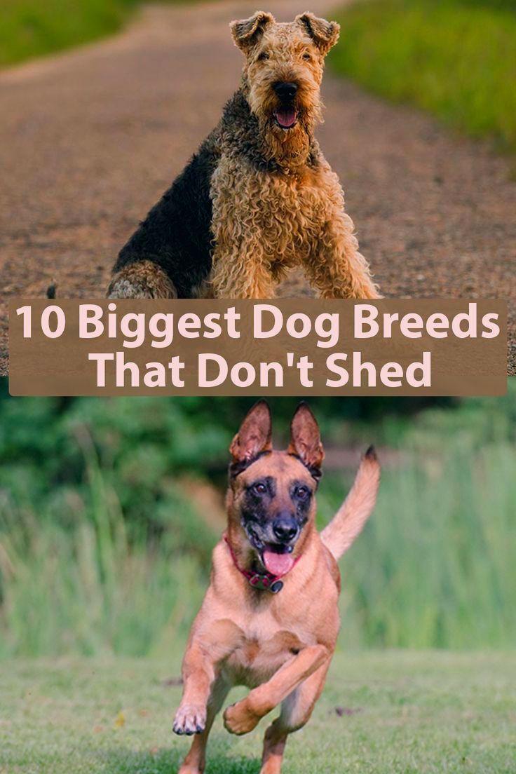 Giant Dog Breeds Giant Breeds Riesenhunderassen Races De Chiens Geants Razas De Perros Giga In 2020 Dog Breeds That Dont Shed Giant Dog Breeds Large Dog Breeds