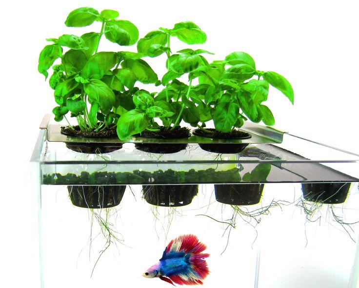 195 best images about aquaponics on pinterest for Betta fish aquaponics