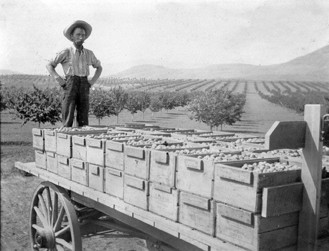 Man standing on the back end of a wagon loaded with the Coldstream Ranch prune plum harvest.  Circa 1910. #VernonBC. Photo courtesy of the Greater Vernon Museum and Archives, Vernon BC Canada.