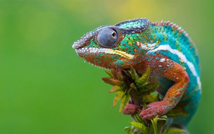 reptiles animal chameleon frog - photo #40
