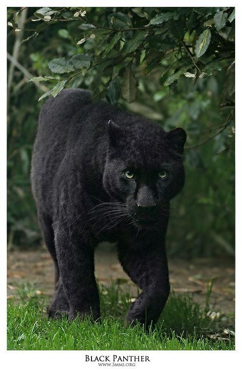 Black Panther by 3mmI.deviantart.com on @deviantART