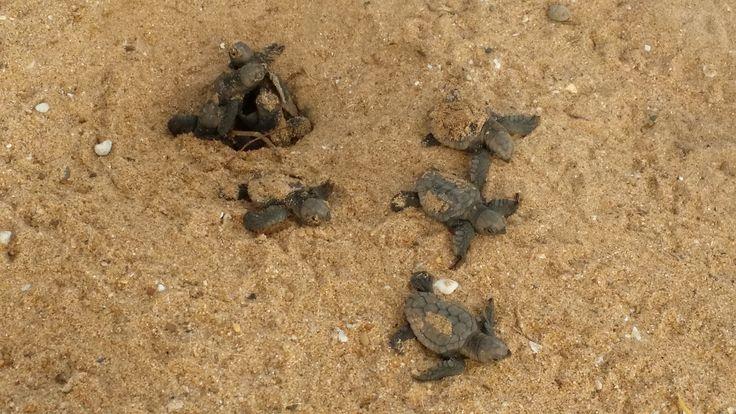 Turtles hatching at Mon Repos Bundaberg Australia. #monrepos #turtlehatching #bundaberg