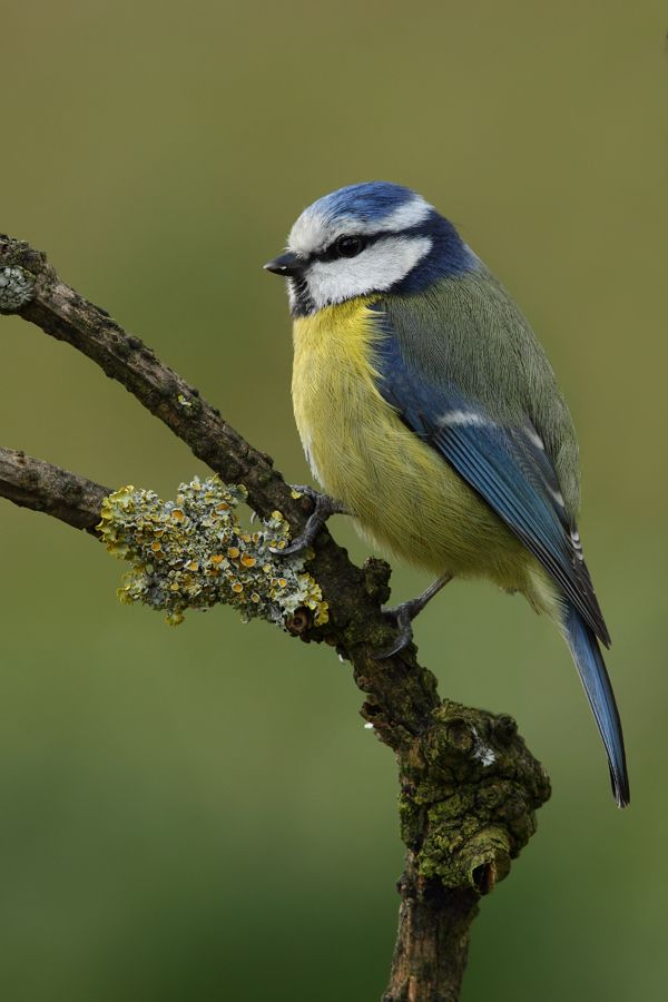 Blue Tit - Herrerillo Comun - (Parus  Caeruleus) by Txema Garcia on 500px