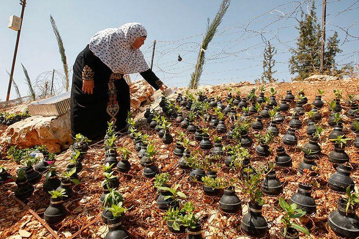 Esta mulher da Cisjordânia está plantando em seu jardim... exceto que ela não está usando potes ou vasos para suas flores.   Em vez disso, ela está construindo um jardim peculiar utilizando bombas de gás lacrimogêneo usadas, disparadas por soldados israelenses em incontáveis conflitos.  Sua manifestação pela paz em silêncio é criada a partir de armas de guerra.: