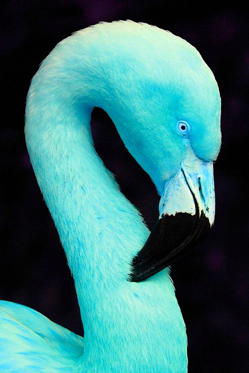 Blue Flamingo. Just in case anyone thought this was real.Repin and Share!  www.facebook.com/wonderfulphotosforall