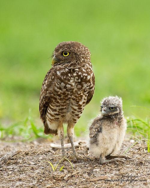 56 best burrowing owls images on pinterest burrowing owl. Black Bedroom Furniture Sets. Home Design Ideas