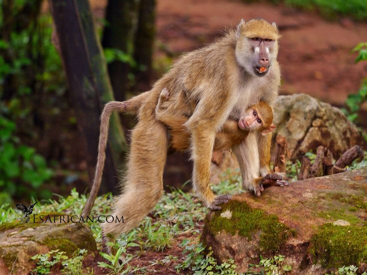Baboons on Zomba Plateau! Beware of aggressive mothers with their young... :-)