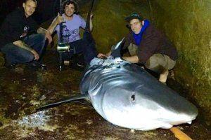 Giant australian shark news report
