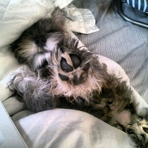 Talk to the paw!!!! One of the BEST Schnauzer photos.... EVER!
