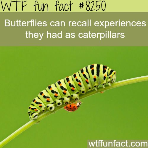 Butterflies remember when they were caterpillars - WTF fun facts