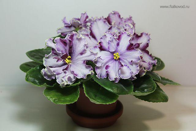 фиалка АВ-Ленинградское Мороженое. AV-Leningradskoe Icecream. African violet.