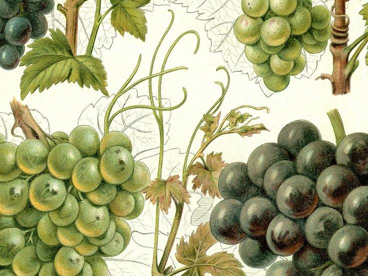 Detail obrazu 6 odrůd vinné révy