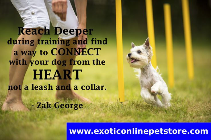 """ Reach deeper during training and find a way to connect with your dog from the heart not a leash and collar."" -Zak George #doglove #dogs #love #yorkie #ZakGeorge http://www.exoticonlinepetstore.com/"
