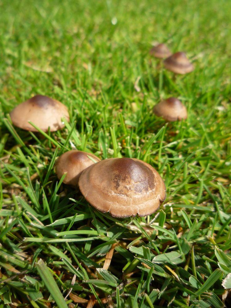 45 Zwartbruine vlekplaat, Panaeolus_ater.jpg  https://www.leren.cf/Lezen/nl/Lijst_van_giftige_paddenstoelen