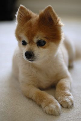 Top 10 Pomeranian Haircut Ideas For 2018 Puppies Pinterest