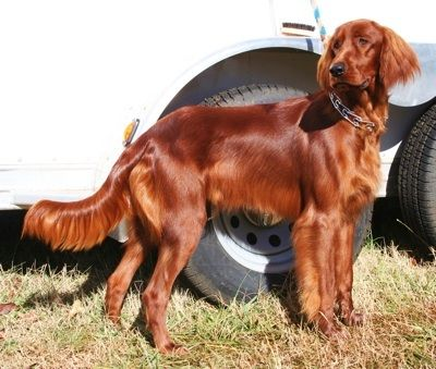 Irish Red Setter: Irish Setters are energetic, intelligent, affectionate, loving, high-spirited, and full of energy. They have no guarding instincts, get along with other pets, and are good with children.