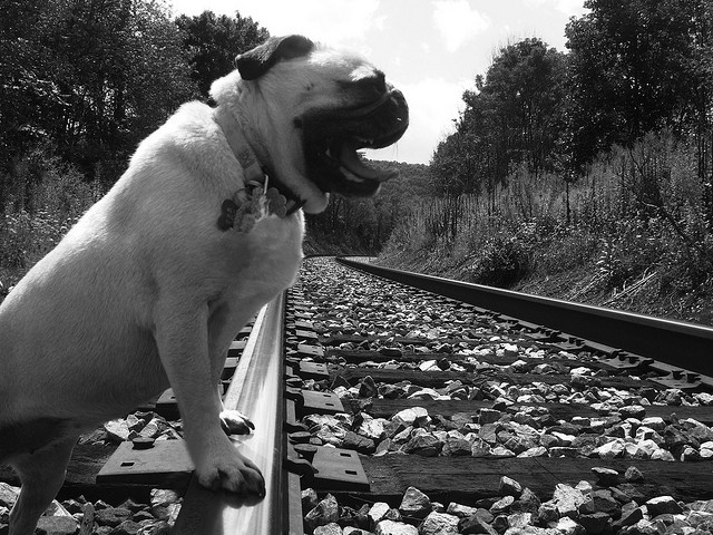 My dog yawning on the train tracks by rew4258, via Flickr
