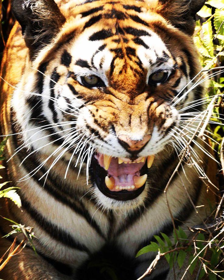Bandhavgarh National Park has one one the heights density of the royal bangal Tigers.  It is one of the best places for Tiger Lovers. Image © @neeraj_pathania #BaghSarai #Bandhavgarh #NationalPark #themensa #nature #junglesafari #tigersafari #wildlife #luxury #travel #wanderlust  #junglediaries #wildcats #wildlifephotography #getaway #gamedrive #tiger #bushdinner #madhyapradesh #incredibleindia