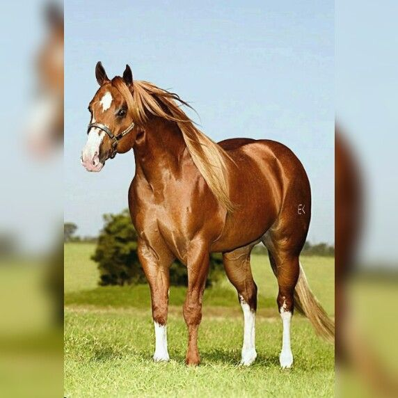 American Quarter Horse Breed Description and Equine History The adaptability of the quarter horse breed has allowed it to be used in other...