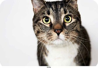 Petra is a stunning tabby and white cat.