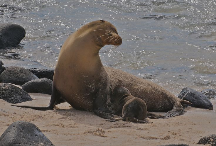 15 Animals breastfeeding that should really cover up: Galapagos sea lion