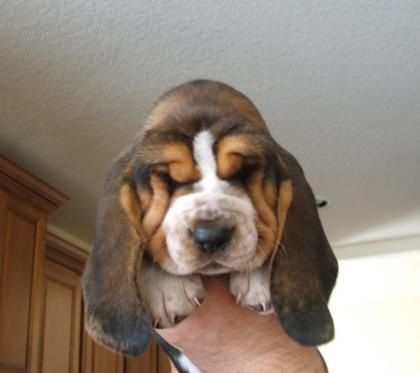 Baby basset. I love him.