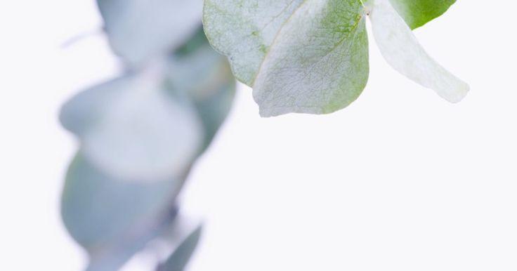 El follaje que se usa en los arreglos florales. El follaje realza los arreglos florales y colgantes. El follaje de textura rica, como los helechos espárragos o la peluda oreja de cordero, complimentan los diferentes tipos de flores frescas y secas. El enebro y el muérdago son populares para los centros de mesa y coronas durante la época de navidad. Las ramas de eucaliptos son para los arreglos ...