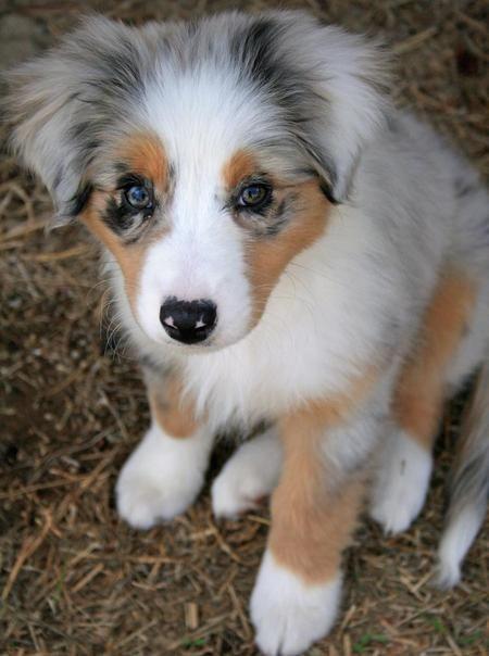 Blue Merle Australian Shepherd pup