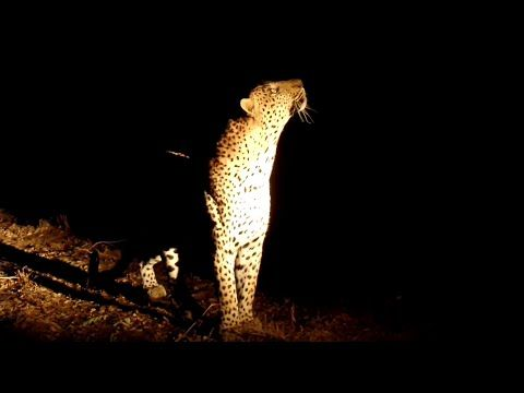Leopards Fight in Tree While Hyena Circles Below