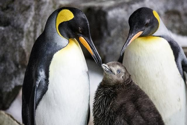 Tuesday, April 25 marks World Penguin Day – and nowhere celebrates penguins quite like New Zealand. It's in the land of the long white cloud where you'll find more penguin species – and more ways to see them – than anywhere else in the world. / At Kelly Tarlton's SEA LIFE Aquarium in Auckland, a same-sex...