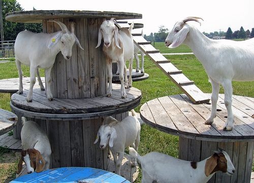 my future goat will have a jungle gym