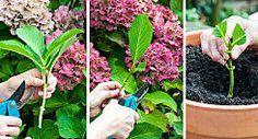 Comment cultiver et entretenir de beaux hortensias ?