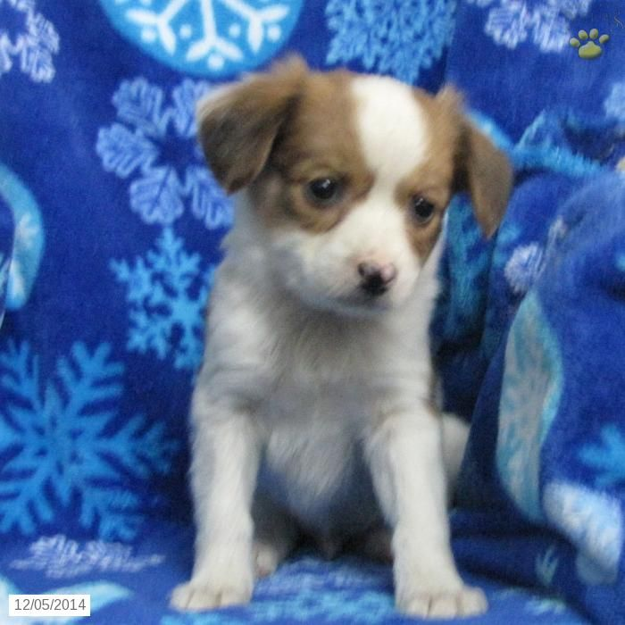 17 best ideas about papillon puppies for sale on pinterest for Papillon new york
