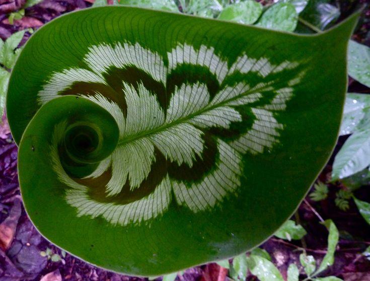 calathea roseopicta - shadow plant