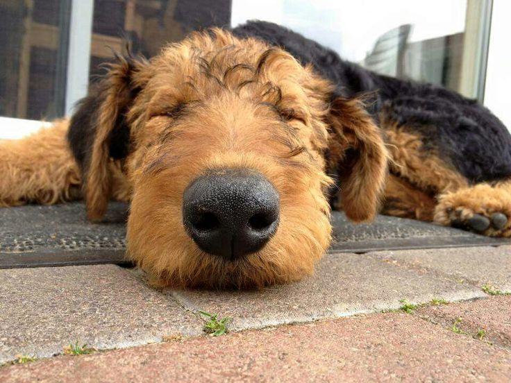 25 b sta id erna om airedale terrier p pinterest welsh. Black Bedroom Furniture Sets. Home Design Ideas