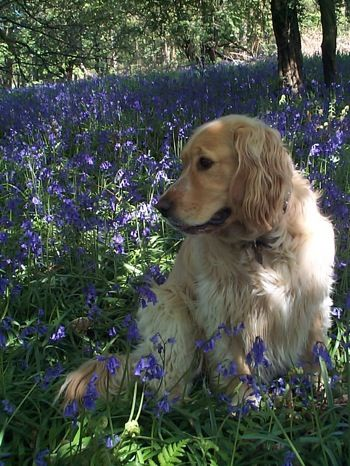 An actual full grown golden cocker retriever...so despite people's beliefs that they look like puppies forever they do not, no dog looks like a puppy forever they all grow up and grow old, those kinds of expectations are unrealistic, yes they can be cute and fluffy but thats it