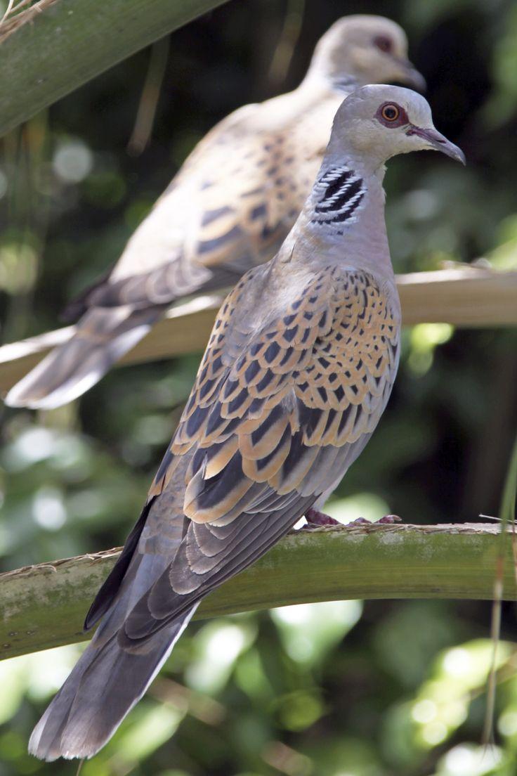 Turtle Dove { Birds of Europe}