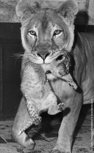 Beatrix, a she-lion at Chessington Zoo, carries her newborn cub. (Photo by Fox Photos/Getty Images). 30th May 1968