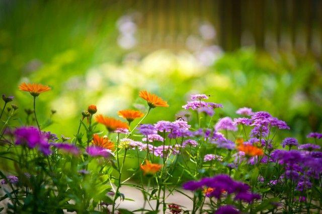 Цветы памяти. Растения, которые можно посадить на могиле. Что посадить на кладбище? Фото - Ботаничка.ru