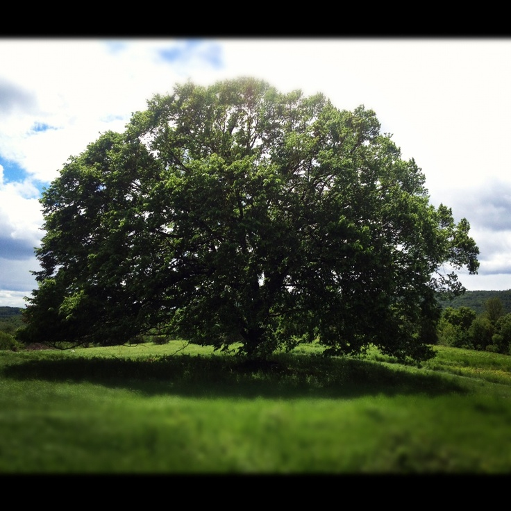 Oak Arbor Court: 17 Best Linden Trees Images On Pinterest