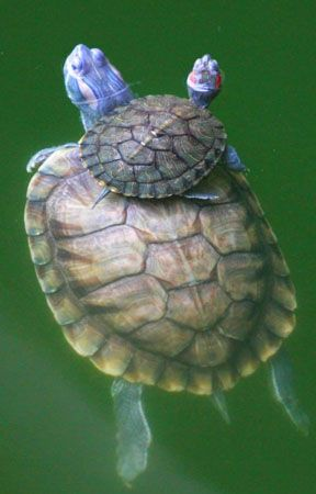Red-eared slider turtles are native to North America and were brought to