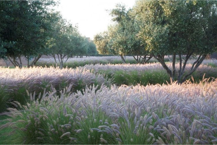 Olive trees on the South west corner with pennisetum underneath