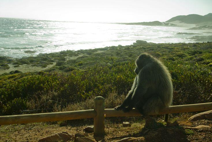 En babianhanne som solar sig  #Cape #Town #Kapstaden #South #Africa #Sydafrika #Travel #Resa #Resmål #Afrika #Vacation #Semester #CapeOfGoodHope #Good #Hope #GoodHope #Godahoppsudden #Udde #Kaphalvön #Babian #Monkey #Apa