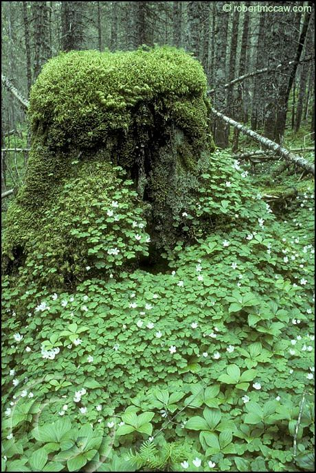 365 best plants of the ontario boreal forest images on pinterest