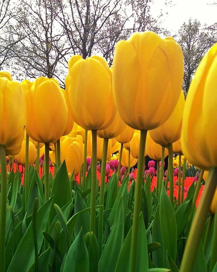 #Keukenhof  #jardim das #tulipas  #garden of #tulips  #jardin de #tulipanes  jardin de #tulipes  #tuin van #tulpen   #Holanda #Nederland #Hollande #PaisesBaixos #PaysBas #PaisesBajos #Netherlands #Lisse #keukenhof2016 #tulipa  #tulip #tulipe #tulipan #tulp #geographie #geography #aardrijkskunde #geografia #geografiadepressao by geografia_depressao
