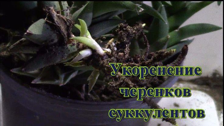 Укоренение черенков суккулентов/  Суккуленты зимой/