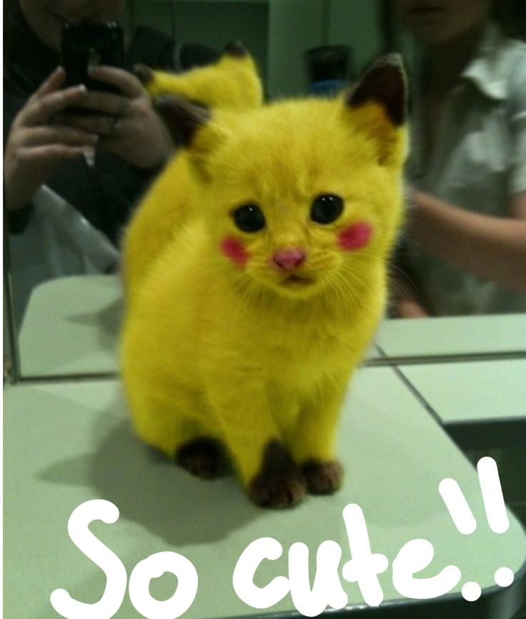 # PIKACHU AS A CAT AWWWWW @BELLAMONREAL