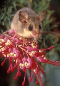 Western Pygmy Possum on Grevillea