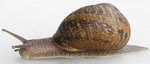 Extended adult brown garden snail, Cornu aspersum (Muller). #UFBugs