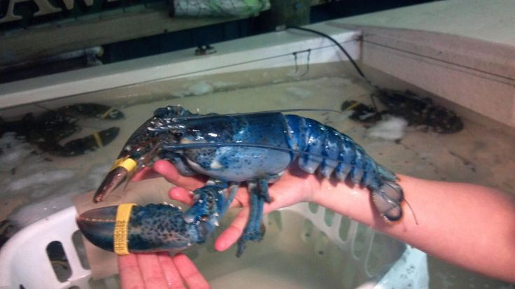 Toby The Rare Blue Lobster Arrives At The National